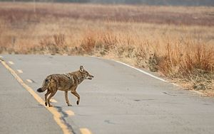 Photo of Coyote Running Down an Open Road