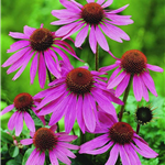 PurpleConeflower