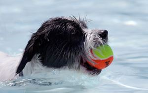 dog holding a tennis ball in his mouth in the water