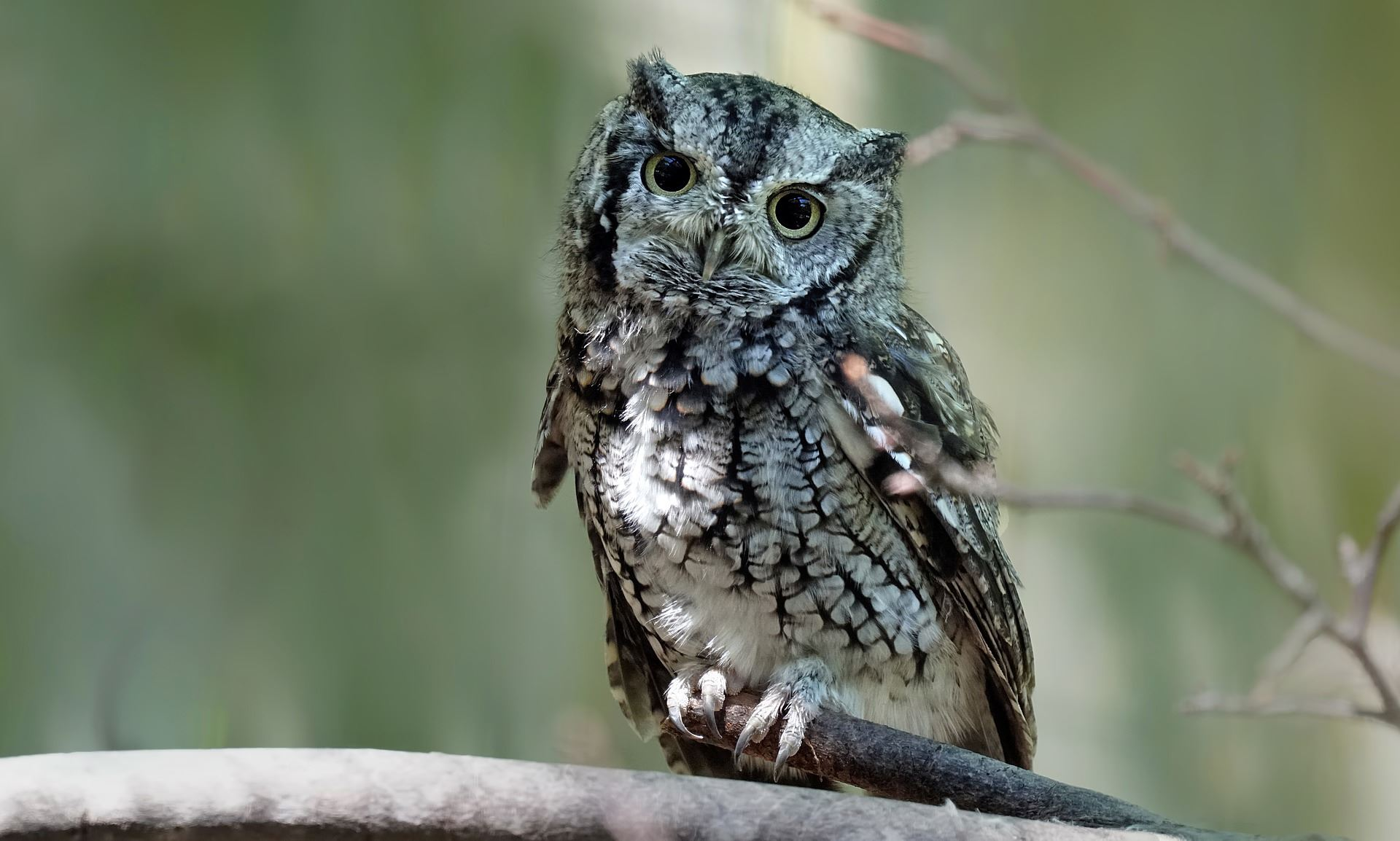 Screech Owl Cover Photo