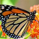 Monarch Butterfly program